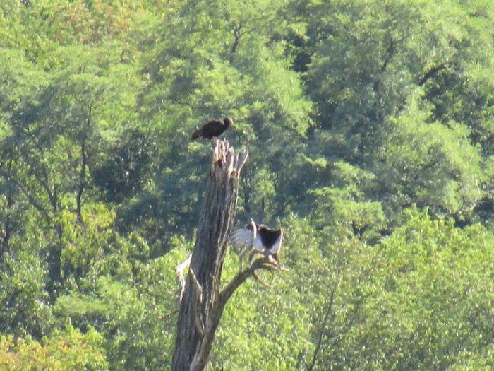 buzzard tree.jpg