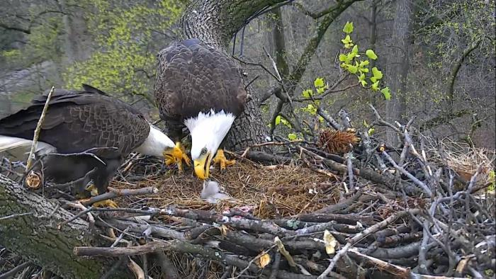 eaglets2.jpg